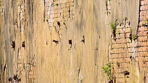 Sand martins (Riparia riparia) flying to and from their nests in old drainage pipes along River Mersey retaining walls. Greater Manchester, UK.  -  Terry Whittaker