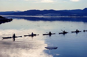 Inuit hunters in kayaks in a line, return towing a dead Narwhal (Monodon monoceros) to shore after a successful hunt. Qeqertat. Thule, Northwest Greenland. 1977  -  Bryan and Cherry Alexander