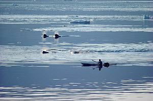 Itukusuk, an Inuit hunter, pursuing a pod of Narwhals (Monodon monoceros) in his kayak in Inglefield Bay. Northwest Greenland. (1985)  -  Bryan and Cherry Alexander