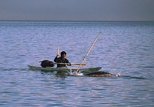 Isaq Qujaukitsoq, an Inuit hunter, harpooning a Narwhal (Monodon monoceros) from his kayak in Inglefield Fjord. Northwest Greenland. 1985  -  Bryan and Cherry Alexander