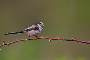 Adult Long-tailed tit (Aegithalos caudatus) perched with beak full of food, Norfolk UK, May.  -  Robin Chittenden