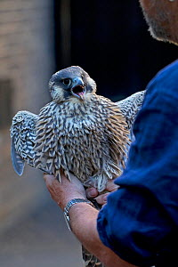 Female juvenile Peregrine falcon (Falco peregrinus) caught as had come to ground, released higher up on the Bell Tower Norwich Cathedral UK, June.  -  Robin Chittenden