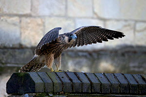 Peregrine falcon (Falco peregrinus) strengthening muscles by flapping its wings, Norwich Cathedral UK, June.  -  Robin Chittenden