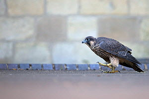 Female Peregrine falcon (Falco peregrinus) grounded after being released, Norwich Cathedral UK, June.  -  Robin Chittenden