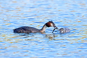 Great crested grebe (Podiceps cristatus) adult feeding its chick, UEA Broad Norwich UK, May.  -  Robin Chittenden
