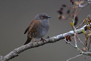 Dunnock (Prunella modularis) perched on a branch, Thorpe Marshes Norfolk UK, April.  -  Robin Chittenden
