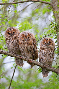 Three juvenile Tawny owls (Strix aluco) perched close together on  branch, Norwich UK, April.  -  Robin Chittenden