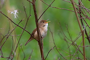 Reed warbler (Acrocephalus scirpaceus) singing, perched on a branch, Whitlingham CP Norwich UK, May.  -  Robin Chittenden