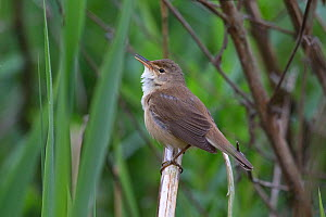 Reed warbler (Acrocephalus scirpaceus) perched on reed, Whitlingham CP Norwich UK, May.  -  Robin Chittenden
