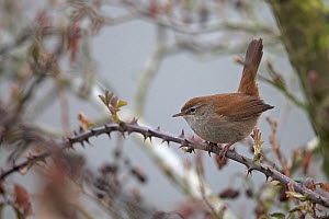 Cetti's warbler (Cettia cetti) perched on thorny branch, Thorpe Marshes Norwich UK, April.  -  Robin Chittenden