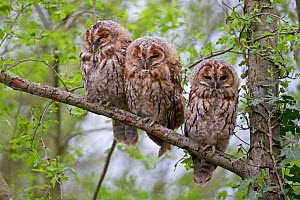 Three juvenile Tawny owl (Strix aluco) perched on a branch, Norwich UK, April.  -  Robin Chittenden