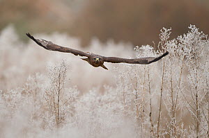 Common buzzard (Buteo buteo) in flight with hoar frost. Northamptonshire, UK, January.  -  Danny Green