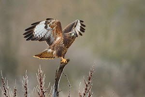 Common buzzard (Buteo buteo) perched on stump with wings spread, Northamptonshire, UK, January.  -  Danny Green