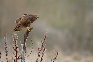 Common buzzard (Buteo buteo) perched on tree stump with hoar frost, Northamptonshire, UK, January.  -  Danny Green