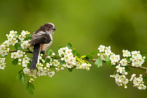 Long tailed tit (Aegithalos caudatus) perched on hawthorn. Hampshire, UK, May.  -  Danny Green