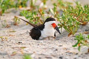 Adult Black skimmer (Rynchops niger) brooding chick, Long Island, New York, USA. August.  -  Marie Read