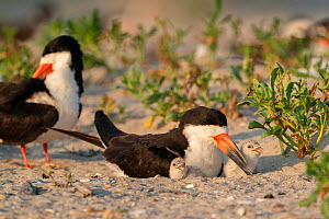 Adult Black skimmer (Rynchops niger) brooding two chicks, Long Island, New York, USA. August.  -  Marie Read