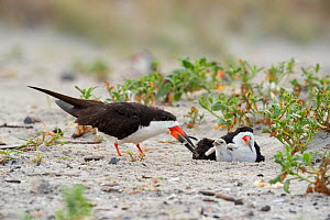 Black skimmer (Rynchops niger) family, with one adult feeding the chick while the other sits in the nest scrape, Long Island, New York, USA. August.  -  Marie Read