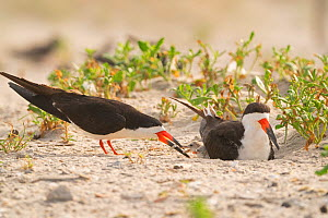 Black skimmer (Rynchops niger) family, with one adult feeding the two chicks while the other sits in the nest scrape, Long Island, New York, USA. August.  -  Marie Read
