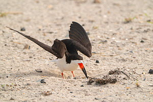 Black skimmer (Rynchops niger) landing at its nest where two eggs are visible, Long Island, New York, USA. August.  -  Marie Read