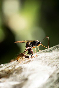 Ichneumon wasp (probably Pimpla, sp.) laying an egg in the pupa of a Bird-cherry ermine moth (Yponomeuta evonymella), using its ovipositor. A caterpillar of the same moth is beside the wasp on the she...  -  John Waters