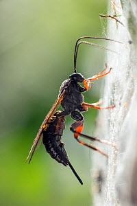 Ichneumon wasp (probably Pimpla sp.) searching for a pupa of small Ermine moth (Yponomeuta evonymella) within the sheet of communal web made by the caterpillars, upon which the wasp is resting. Bristo...  -  John Waters
