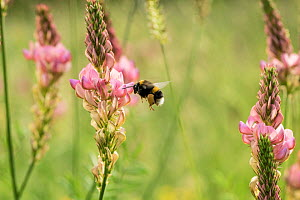 Bumblebee (probably Bombus terrestris) visiting flowers of Sainfoin (Onobrychis viciifolia) in a restored wildflower meadow, near Bristol, UK, June, 2021.  -  John Waters