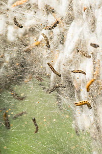 Caterpillars of the Bird-cherry ermine moth (Yponomeuta evonymella) among silk strands of a huge communal web covering host tree (Prunus padus) and protecting the many pupae in their silk cocoons from...  -  John Waters
