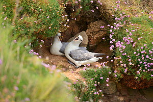 Fulmar (Fulmarus glacialis) pair calling, at their clifftop nesting sites, South Ronaldsay, Orkney Islands, Scotland, June.  -  Mike Potts
