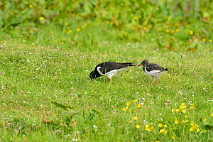 Oystercatcher (Haematopus ostralegus) adult with chick feeding in a marshy field, South Ronaldsay, Orkney Islands, Scotland, June.  -  Mike Potts