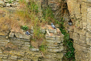 Rock Doves (Columba livia) perched in an old quarry, South Ronaldsay, Orkney Islands, Scotland, June.  -  Mike Potts