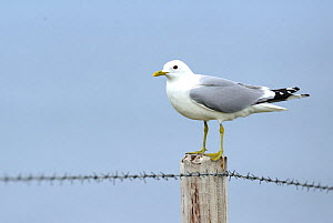 Common Gull (Larus canus) perched on fence pole, South Ronaldsay, Orkney Islands, Scotland, July.  -  Mike Potts