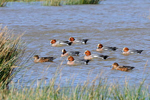 Widgeon (Anas penelope) group on flooded grassland, RSPB Cors Ddyga Reserve, Gaerwn, Anglesey, North Wales, July.  -  Mike Potts