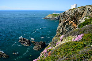 Spring Flowers on a clifftop with Ellens Tower and Lighthouse beyond, South Stack, Anglesey, North Wales, May.  -  Mike Potts
