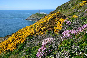 Spring Flowers on a clifftop with lighthouse beyond, South Stack, Anglesey, North Wales, May.  -  Mike Potts