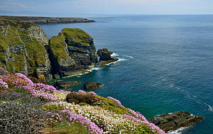 Spring Flowers on a clifftop with Lleyn Peninsula in distance, South Stack, Anglesey, North Wales, May.  -  Mike Potts