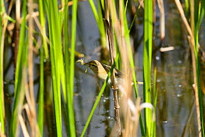 Willow Warbler (Phylloscopus trochilus) in reedbed with a damselfly larva in its beak, RSPB Conwy Reserve, North Wales, May.  -  Mike Potts