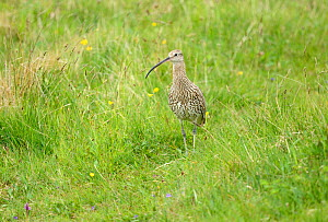 Curlew (Numenius arquata) on breeding grounds in a marshy meadow, South Ronaldsay, Orkney Islands, Scotland, June.  -  Mike Potts