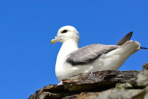 Fulmar (Fulmarus glacialis) resting on ancient stone wall, Island of Rousay, Orkney Islands, Scotland, June.  -  Mike Potts