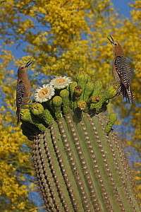Gila woodpeckers (Melanerpes uropygialis) feeding on nectar and insects from Saguaro blossom (Carnegiea gigantea) while fighting over access to blossoms, Sonoran desert, Arizona.  -  John Cancalosi