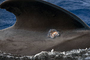 Whale louse (Cyamidae), a frequent cutaneous parasite in cetaceans, on a small scar of a pilot whale (Globicephala macrorhynchus), Tenerife, Canary Islands.  -  Sergio Hanquet
