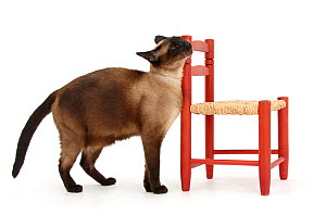 Seal point Siamese-cross cat (Felis catus) scent rubbing / bunting against a child's chair.  -  Mark Taylor