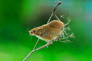 Harvest mouse (Micromys minutus) climbing on a dead flower head (captive) Dorset, UK, May.  -  Colin Varndell
