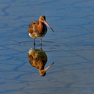 Black-tailed godwit (Limosa limosa) foraging, Vendeen Marsh, Vendee, France, May.  -  Loic Poidevin