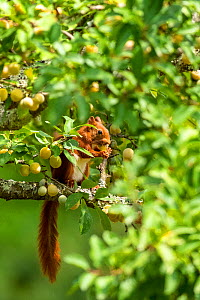 Red Squirrel (Sciurus vulgaris) eating green mirabelle plums in orchard, Oise, France, July.  -  Sylvain Cordier