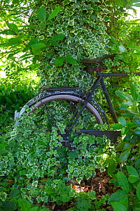Old bicycle buried in vegetation at Jardin Cali Canthus, an ornamental and decorative garden open to the public, Alsace, France.  -  Sylvain Cordier