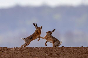 Male and female European hare (Lepus europaeus) boxing in the fields, Oise, France, April.  -  Sylvain Cordier