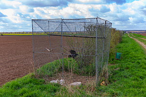 Wire mesh cage trap to capture crows and other corvids in an area of large cereal crops, with a bird prisoner inside serving as a caller to attract others, Oise, France.  -  Sylvain Cordier