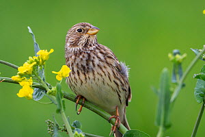 Male Corn bunting (Emberiza calandra) perched on a rapeseed plant (Brassica napus), calling to females, Oise, France, April.  -  Sylvain Cordier