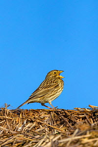Male Corn bunting (Emberiza calandra) perched on a bale of straw, calling, Oise, France, April..  -  Sylvain Cordier